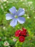 Μπλε και κόκκινα λουλούδια Στοκ εικόνα με δικαίωμα ελεύθερης χρήσης