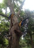 Μπλε και πράσινο Macaws Στοκ εικόνες με δικαίωμα ελεύθερης χρήσης