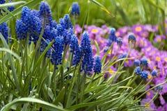Μπλε και ρόδινα λουλούδια άνοιξη Στοκ Εικόνες