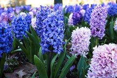 Μπλε και ρόδινο κρεβάτι κήπων των υάκινθων Στοκ φωτογραφίες με δικαίωμα ελεύθερης χρήσης