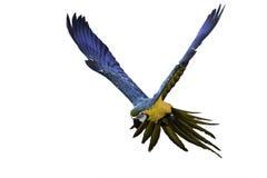 Μπλε και χρυσός macaw που πετά στο άσπρο υπόβαθρο, πορεία ψαλιδίσματος Στοκ εικόνα με δικαίωμα ελεύθερης χρήσης