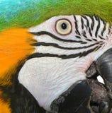 Μπλε και χρυσό πρόσωπο Macaw Στοκ Εικόνα