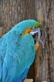 Μπλε και χρυσό Macaw που αντιμετωπίζει στο δικαίωμα Στοκ εικόνες με δικαίωμα ελεύθερης χρήσης