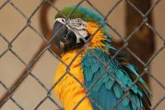 Μπλε και χρυσό Macaw Στοκ Φωτογραφία