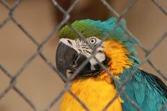 Μπλε και χρυσό Macaw Στοκ εικόνες με δικαίωμα ελεύθερης χρήσης