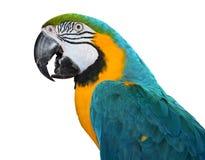 Μπλε και χρυσό Macaw Στοκ Εικόνες