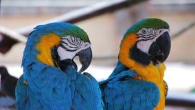 Μπλε και χρυσό Macaws που καθαρίζει τα φτερά τους απόθεμα βίντεο