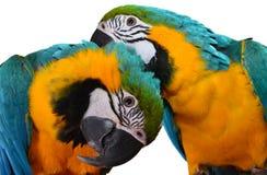 Μπλε και χρυσό Macaws Στοκ εικόνες με δικαίωμα ελεύθερης χρήσης