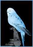Μπλε καναρίνι ial Στοκ εικόνα με δικαίωμα ελεύθερης χρήσης