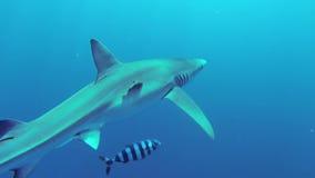 μπλε καρχαρίας φιλμ μικρού μήκους