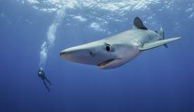 μπλε καρχαρίας Στοκ Εικόνες