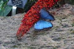 Μπλε κατανάλωση πεταλούδων Morpho Στοκ φωτογραφία με δικαίωμα ελεύθερης χρήσης