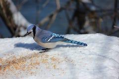 μπλε κατανάλωση jay Στοκ φωτογραφία με δικαίωμα ελεύθερης χρήσης