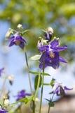 Μπλε κινηματογράφηση σε πρώτο πλάνο λουλουδιών Aquilegia Στοκ Φωτογραφίες