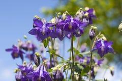 Μπλε κινηματογράφηση σε πρώτο πλάνο λουλουδιών Aquilegia Στοκ φωτογραφία με δικαίωμα ελεύθερης χρήσης