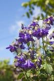 Μπλε κινηματογράφηση σε πρώτο πλάνο λουλουδιών Aquilegia Στοκ Εικόνες