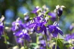 Μπλε κινηματογράφηση σε πρώτο πλάνο λουλουδιών Aquilegia Στοκ εικόνα με δικαίωμα ελεύθερης χρήσης