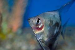 Μπλε κινηματογράφηση σε πρώτο πλάνο προσώπου κοκκινίσματος angelfish Στοκ Φωτογραφίες