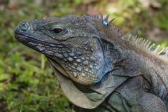 Μπλε κινηματογράφηση σε πρώτο πλάνο Iguana Στοκ φωτογραφία με δικαίωμα ελεύθερης χρήσης