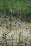 Μπλε κουδούνια Στοκ εικόνες με δικαίωμα ελεύθερης χρήσης