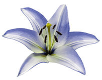 Μπλε κρίνος λουλουδιών στο απομονωμένο άσπρο υπόβαθρο με το ψαλίδισμα της πορείας closeup Όμορφο άσπρος-μπλε λουλούδι για το σχέδ Στοκ Φωτογραφία