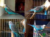 Μπλε κυματιστός παπαγάλος Στοκ Εικόνες