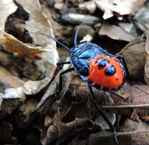 Μπλε κόκκινος κάνθαρος στοκ εικόνες