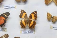 μπλε κόκκινο συλλογής πεταλούδων πεταλούδων κιβωτίων Στοκ Εικόνες