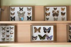 μπλε κόκκινο συλλογής πεταλούδων πεταλούδων κιβωτίων Στοκ Φωτογραφίες