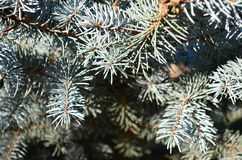 Μπλε κλάδος Στοκ Φωτογραφίες
