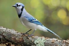 μπλε κλάδος jay Στοκ Εικόνα