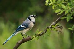 Μπλε κλήσεις του Jay Στοκ Εικόνες