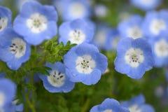 Μπλε μάτια Nemophila ή μωρών, Ιαπωνία Στοκ εικόνες με δικαίωμα ελεύθερης χρήσης