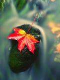 μπλε μακρύς ουρανός σκιών φύσης φθινοπώρου Λεπτομέρεια του σάπιου πορτοκαλιού φύλλου σφενδάμου Φύλλο πτώσης στην πέτρα στοκ εικόνες
