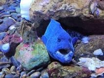 Μπλε μεγάλα ψάρια Στοκ Εικόνες