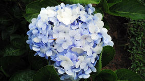 Μπλε με το άσπρο λουλούδι Στοκ Εικόνες