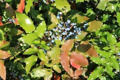 Μπλε μούρα aquifolium Mahonia και πράσινα φύλλα μια ηλιόλουστη ημέρα Στοκ Εικόνες