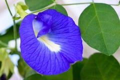 Μπλε μπιζέλι πεταλούδων στοκ φωτογραφία με δικαίωμα ελεύθερης χρήσης