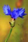 Μπλε μυρμήγκια Cornflower Στοκ φωτογραφία με δικαίωμα ελεύθερης χρήσης