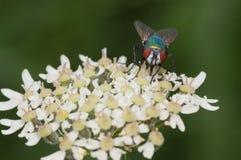 μπλε μύγα μπουκαλιών Στοκ Φωτογραφίες