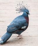 Μπλε νέο peacock στοκ εικόνες με δικαίωμα ελεύθερης χρήσης