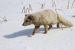 Μπλε να γλιστρήσει αρκτικών αλεπούδων διοικητών πέρα από το χιόνι στο fishe Στοκ φωτογραφία με δικαίωμα ελεύθερης χρήσης