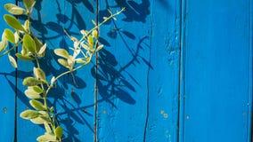 Μπλε ξύλινο υπόβαθρο με τον κισσό Στοκ εικόνα με δικαίωμα ελεύθερης χρήσης
