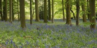 Μπλε ξύλο κουδουνιών στοκ φωτογραφία