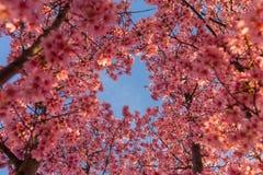 Μπλε ουρανοί και άνθη κερασιών Στοκ Εικόνα