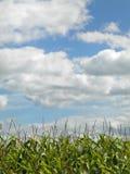 Μπλε ουρανός, άσπρα σύννεφα και πράσινοι μίσχοι του καλαμποκιού Στοκ φωτογραφία με δικαίωμα ελεύθερης χρήσης