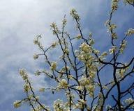 Μπλε ουρανός και άνθη της Apple Στοκ Φωτογραφία