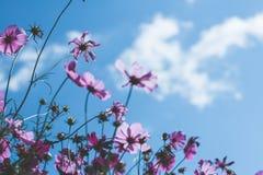 Μπλε ουρανός και ρόδινος κόσμος Στοκ Φωτογραφία