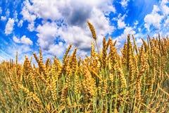 μπλε ουρανός καλαμποκι& Στοκ φωτογραφία με δικαίωμα ελεύθερης χρήσης