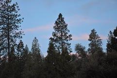 Μπλε ουρανός μέσω των δέντρων πεύκων Στοκ εικόνα με δικαίωμα ελεύθερης χρήσης